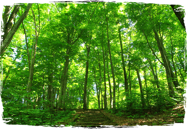 Beech Tree Forests