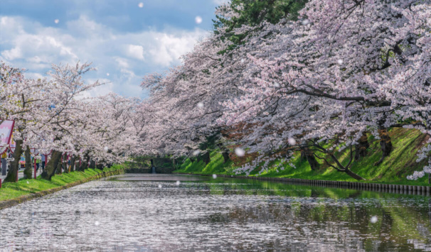 Hirosaki Castle Cherry Blossom Blizzard